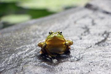 Ein grüner Frosch sitzt auf einem Stein