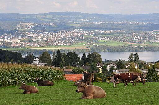 Blick auf den Greifensee mit Uster im Hintergrund. Man sieht ausserdem im Vordergrund eine grüne Wiese mit kauenden und liegenden Kühen drauf.